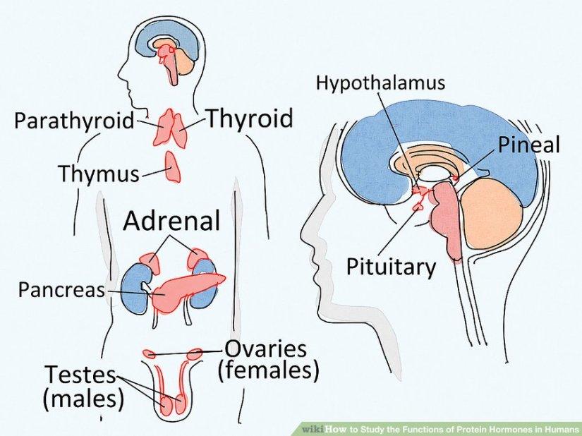 Det endokrine system