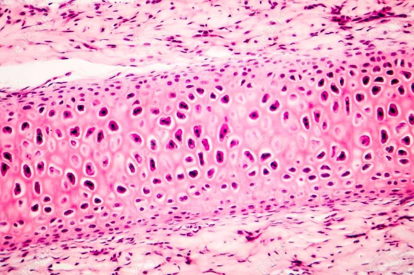 Cellen i mikroskopet