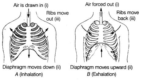 GR: Respirasjon