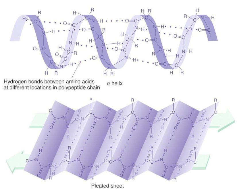 Aminosyrer og proteinstruktur